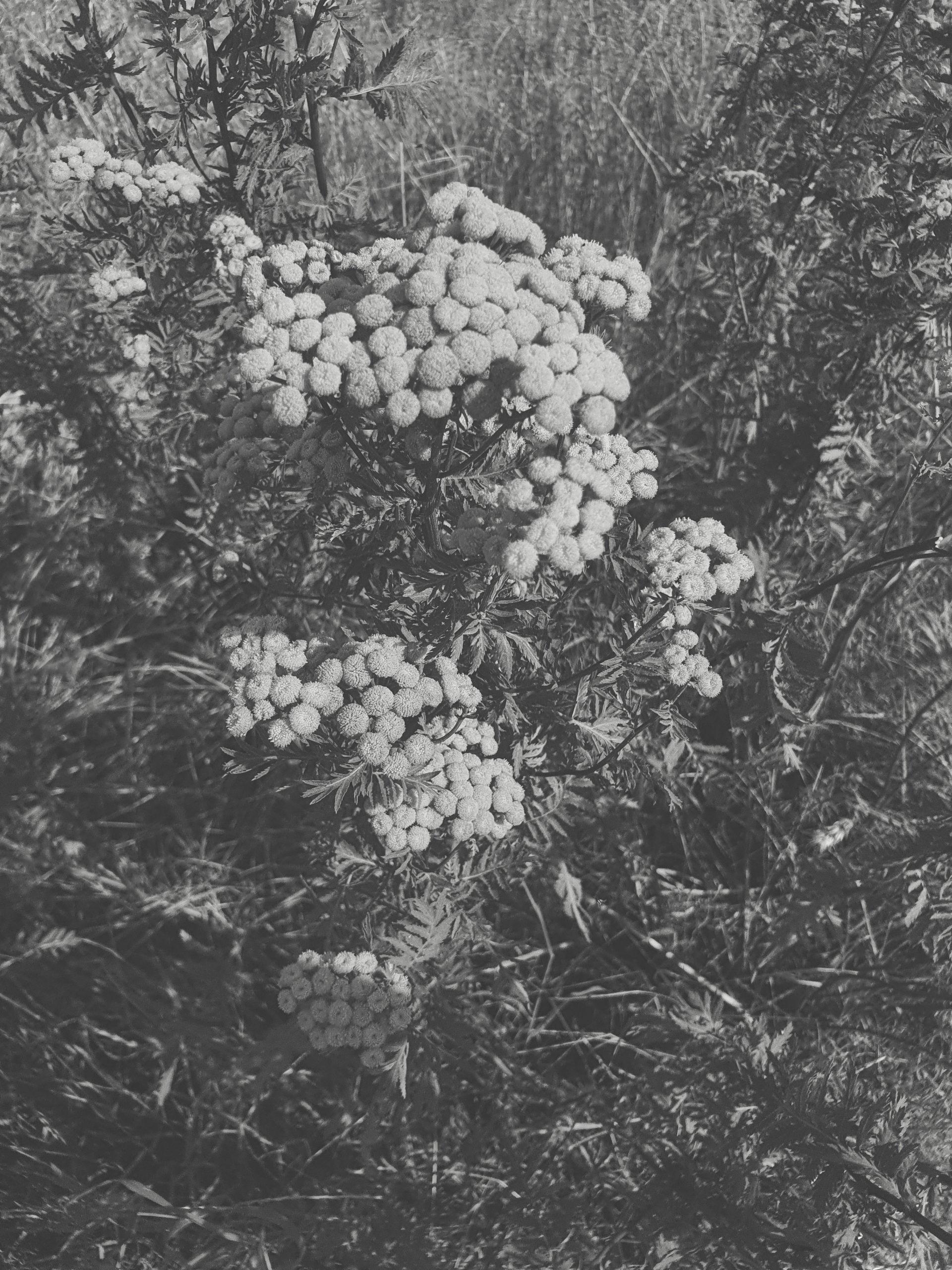Moodbild Feld Blumen schwarzweiß